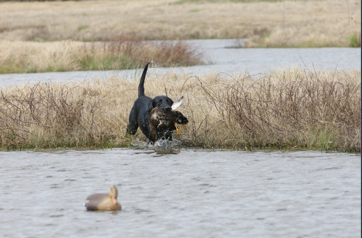 Retriever Training in Texas